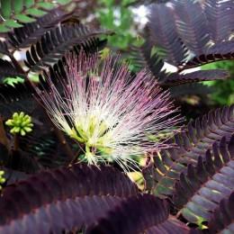 Arbore de matase (Albitia) Summer Chocolate - Arbori ornamentali - AgroDenmar.ro