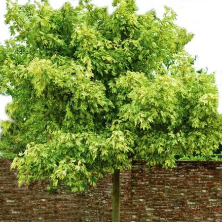 Artar Leopoldii -  tulpina inalta altoit - Arbori ornamentali - AgroDenmar.ro