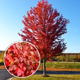 Artar Rosu Summer Red - Arbori ornamentali - AgroDenmar.ro