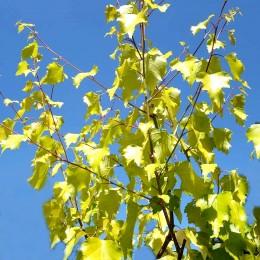Mesteacan auriu Goldbirke - Arbori ornamentali - AgroDenmar.ro