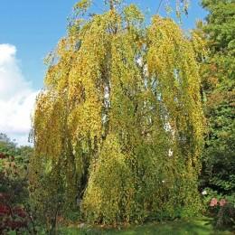 Cercidiphyllum Japonicum Pendulum - Arbori ornamentali - AgroDenmar.ro