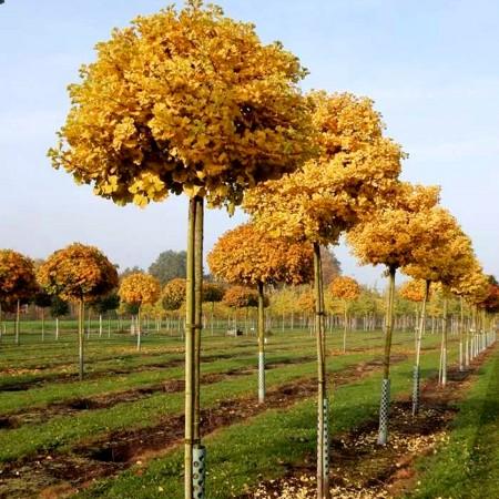 Ginkgo Biloba Mariken - Arbori ornamentali - AgroDenmar.ro