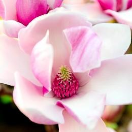 Magnolia Pink Beauty - Tip copac