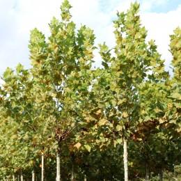 Platan El Gordo - Arbori ornamentali - AgroDenmar.ro
