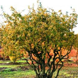 Alun Cret - Corylus avellana Contorta - Arbusti fructiferi - AgroDenmar.ro