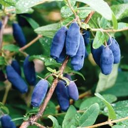 Afin siberian Lonicera Jugana- Boaba de miere - Arbusti fructiferi - AgroDenmar.ro