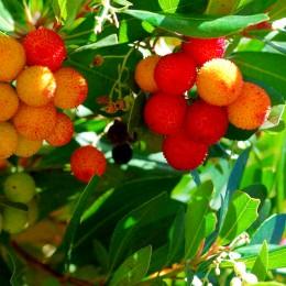 Arbutus Unedo Compacta - Arborele de Capsuni - Arbusti fructiferi - AgroDenmar.ro