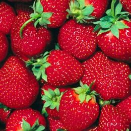 Capsuni Premial - Arbusti fructiferi - AgroDenmar.ro