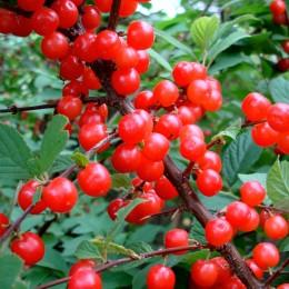 Cires de tufa Nanking - Arbusti fructiferi - AgroDenmar.ro