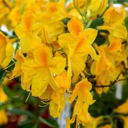 Azalee Goldtopas - Arbusti ornamentali - AgroDenmar.ro