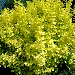 Dracila Berberis thunbergii Golden Horizon