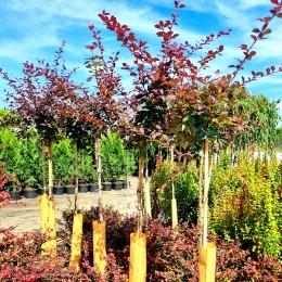 Dracila Berberis Superba - tip copac - Arbusti ornamentali - AgroDenmar.ro
