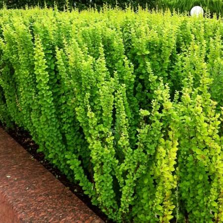 Dracila Berberis thunbergii Erecta - Arbusti ornamentali - AgroDenmar.ro