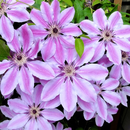Clematis Nelly Moser - Arbusti ornamentali - AgroDenmar.ro