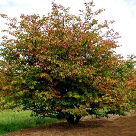 Euonymus alatus Timber Creek - Arbusti ornamentali - AgroDenmar.ro