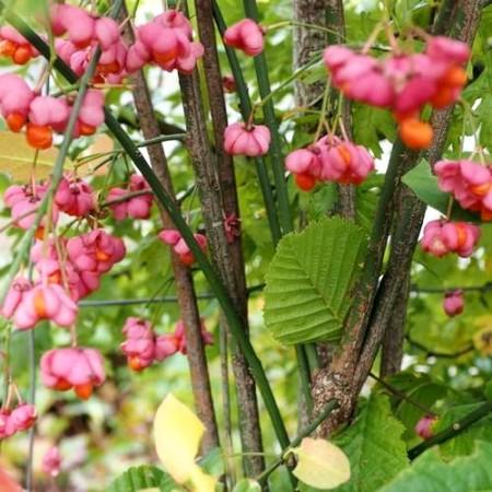 Euonymus europaeus Scarlet Wonder - Arbusti ornamentali - AgroDenmar.ro
