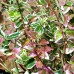 Euonymus fortunei Emerald Gaiety - Arbusti ornamentali - AgroDenmar.ro