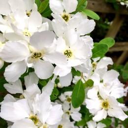 Exochorda Magical Springtime - Arbusti ornamentali - AgroDenmar.ro