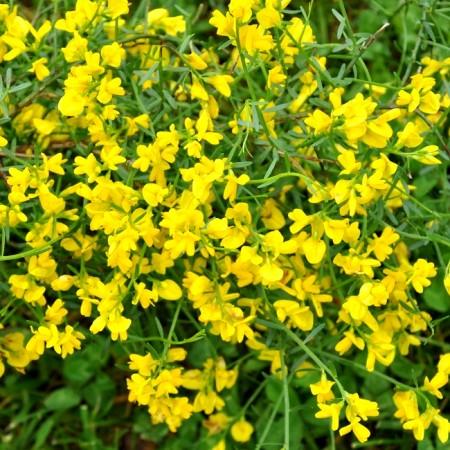 Genista Lydia - Arbusti ornamentali - AgroDenmar.ro