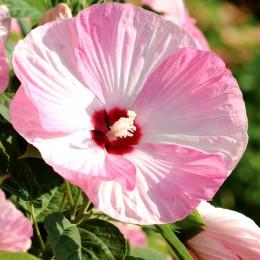 Hibiscus Moscheutos Luna Pink Swirl