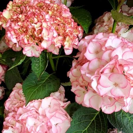 Hortensia Sabrina® - Arbusti ornamentali - AgroDenmar.ro