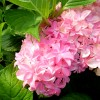 Hortensia macrophylla You & Me Perfection®