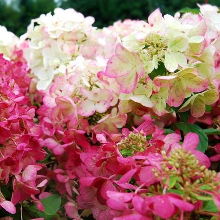 Hortensia Diamant Rouge - Arbusti ornamentali - AgroDenmar.ro
