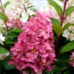 Hortensia paniculata Pinky Winky - Arbusti ornamentali - AgroDenmar.ro
