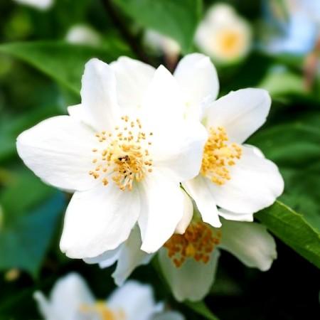 Iasomie Bialy Karzel - Arbusti ornamentali - AgroDenmar.ro