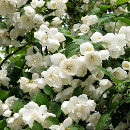 Iasomie Dame Blanche - Arbusti ornamentali - AgroDenmar.ro