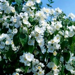 Iasomie Lemoinei - Arbusti ornamentali - AgroDenmar.ro