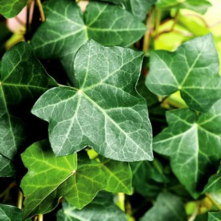 Iedera Woerner - Arbusti ornamentali - AgroDenmar.ro
