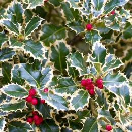 Ilex aquifolium Argentea Marginata - Arbusti ornamentali - AgroDenmar.ro