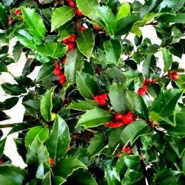 Ilex Blue Maid - Arbusti ornamentali - AgroDenmar.ro