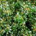 Ilex Golden Girl Mesgolg - Arbusti ornamentali - AgroDenmar.ro