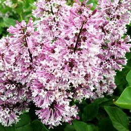 Liliac corean pitic Miss Kim - Arbusti ornamentali - AgroDenmar.ro