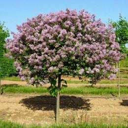 Liliac Cerul Moscovei- tip copac - Arbusti ornamentali - AgroDenmar.ro