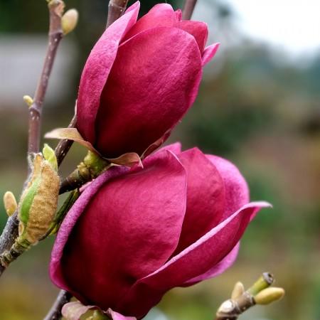 Magnolia Genie 20 cm - Arbori ornamentali - AgroDenmar.ro