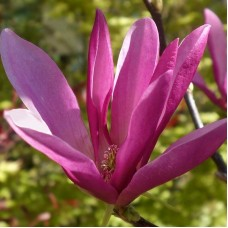 Magnolia Susan - Tip copac