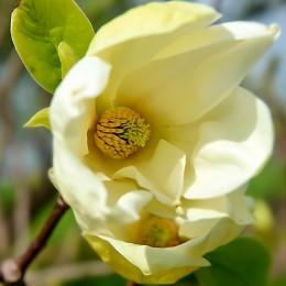Magnolia Yellow Lantern - Arbori ornamentali - AgroDenmar.ro