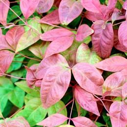 Bambus Sfânt - Nandina domestica Blush Pink ® Aka