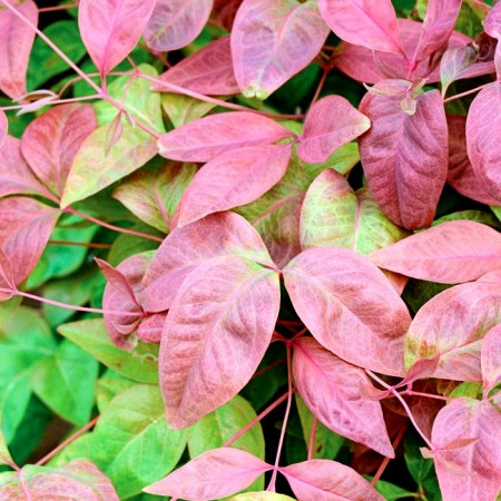 Bambus Sfânt - Nandina domestica Blush Pink ® Aka - Arbusti ornamentali - AgroDenmar.ro