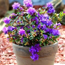 Rhododendron Saint Merryn - Arbusti ornamentali - AgroDenmar.ro