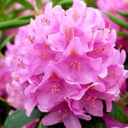 Rhododendron Roseum Elegans - Arbusti ornamentali - AgroDenmar.ro
