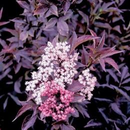 Soc negru Black Beauty - Arbori ornamentali - AgroDenmar.ro