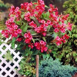 Weigela Bristol Ruby - tip copac