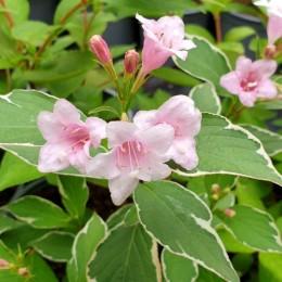 Weigela Florida Suzanne - Arbusti ornamentali - AgroDenmar.ro