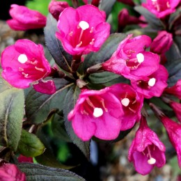 Weigela Florida Minor Black - Arbusti ornamentali - AgroDenmar.ro
