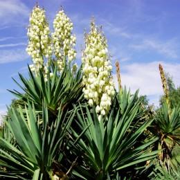 Yucca filamentosa 40 cm - Arbusti ornamentali - AgroDenmar.ro