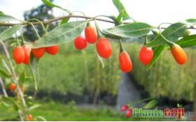 Galerie Foto Video - Plante si Fructe Goji
